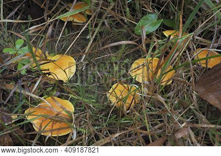 The Golden Waxcap (hygrocybe Chlorophana) Is An Inedible Mushroom , An Intresting Photo