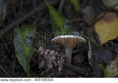 The Leucopaxillus Rhodoleucus Is An Inedible Mushroom , An Intresting Photo