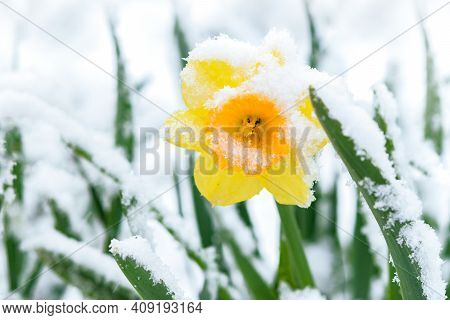 Spring Garden During The Weather Breakdown - Blooming Yellow Daffodils Flower Covered With Snow In C