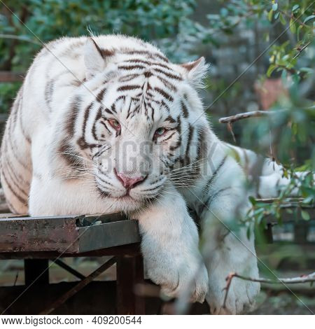 White Tiger Resting. White Tiger Or Bleached Tiger Is A Pigmentation Variant Of The Bengal Tiger
