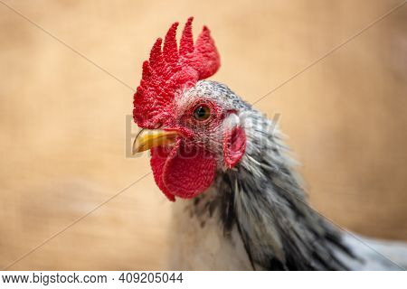 Portrait Of Young Plymouth Rock Rooster (barred Rock Rooster). Photography Of Nature And Wildlife.