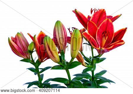 Portrait Of Orange Lilium Flowers On The White Background. Photography Of Lively Nature And Wildlife