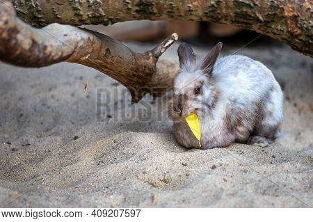 View Of Beige-grey Domestic Pygmy Rabbit (bunny) During The Meal. Photography Of Nature And Wildlife