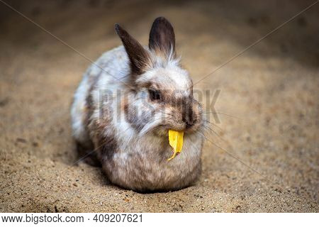 Full Body Of Smoky Grey-brown Domestic Pygmy Rabbit. Photography Of Lively Nature And Wildlife.