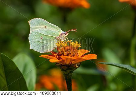 Close-up Of Butterfly Common Brimstone On The Orange Flower. Photography Of Lively Nature And Wildli