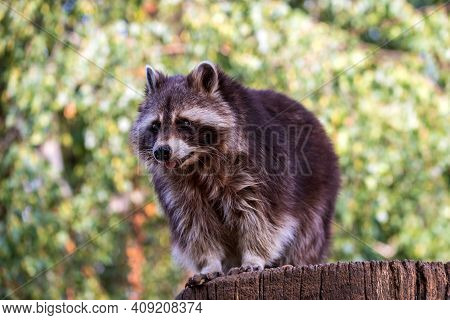 Portrait Of Adult Male Lotor Common Raccoon (procyon Lotor). Photography Of Nature And Wildlife.