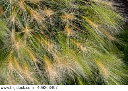 Close-up Of Dgreen Grass On The Summer Field. Macro Photography Of Nature.