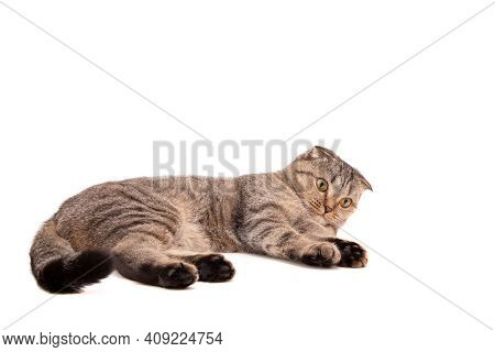 Lying Gray Cat With Drooping Ears. A Beautiful Cat Lies On A White Background. Cat Isolate.