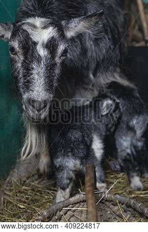 Home Environment. The Goat Has Just Farrowed And Protects Its Offspring. Small Depth Of Field. Soft