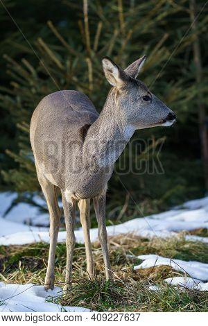 Roe Deer In Forest, Capreolus Capreolus. Wild Roe Deer In Winter Nature.