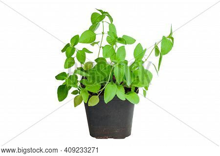 Fresh Basil In Pot Isolated On White Background. Fresh Green Young Foliage Of Basil