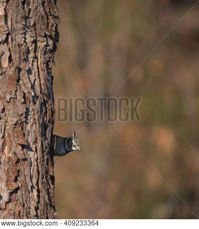 European Crested Tit, Lophophanes Cristatus Bird Perched On A Tree Trunk Peeping Out. Selective Focu