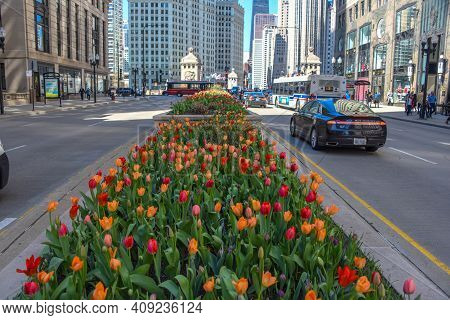 April 26, 2019, Red And Orange Tulip Flower Bulbs In Full Bloom In Early Spring In The Middle Of Mic