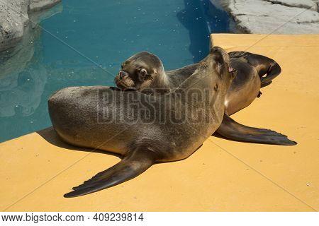 South American Sea Lion,  Southern Sea Lion, Patagonian Sea Lion   (otaria Flavescens, Formerly Otar