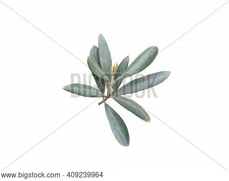 Olive Tree Branch Isolated On White. Olea Europaea Leaves. Symbol Of Abundance, Glory, And Peace.
