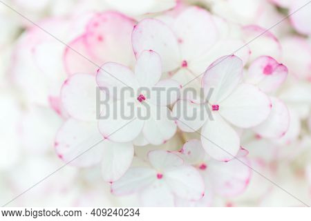 Delicate White Hydrangea Flowers In Soft Sun Light Close-up. Pastel Floral Background. Romantic Wedd