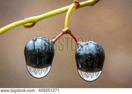 Macro Of A Pair Of Berries Of A Roundleaf Greenbrier (smilax Rotundifolia), With Rain Droplets Hangi