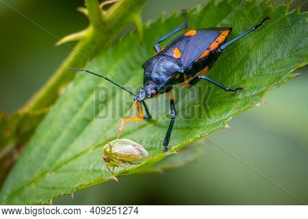 A Florida Predatory Stink Bug (euthyrhynchus Floridanus) Feasts On A Treehopper. Raleigh, North Caro