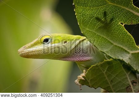 Green Anole (anolis Carolinensis) Stops For A Pose. Raleigh, North Carolina.