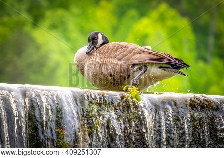 A Canada Goose (branta Canadensis) Preens Atop A Waterfall. Raleigh, North Carolina.