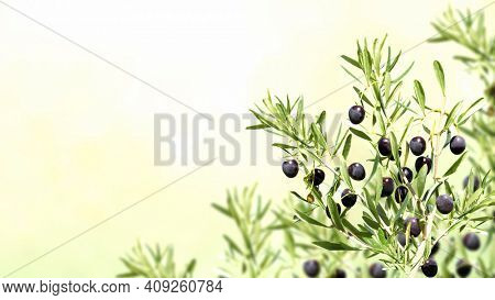 Horizontal banner with ripe black olives on olive tree. Olive branch close up on sunny background. Mock up template. Copy space for text