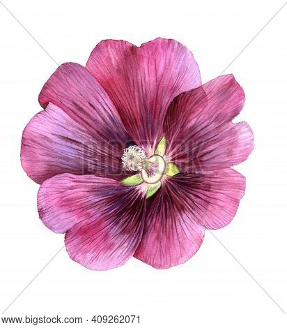 Watercolor Drawing Flower Of Alcea , Hollyhock, Isolated Floral Element At White Background, Hand Dr