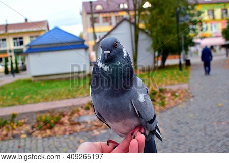 Pigeon Bird Sitting On Hand. Columbidae Is A Bird Family Constituted Of Pigeons And Doves. These Are