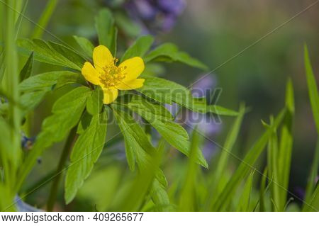 Anemone Ranunculoides, Flore Pleno Yellow Flowering Alpine Plant Buttercup Anemone. Yellow Meadow Fl