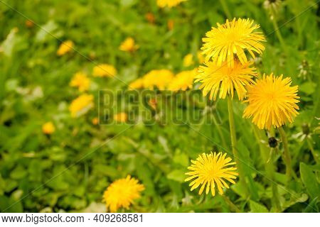 Yellow Dandelion Flowers With Leaves In Green Grass, Spring Photo.fantastic Field With Fresh Yellow