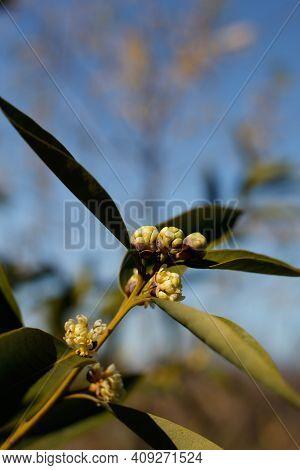 Blooming Yellow-white Umbel Inflorescences Of California Bay, Umbellularia Californica, Lauraceae, N