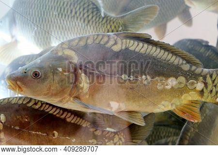 Mirror Carp Swimming In Water. Flock Of Fish, Freshwater Carp In A Store Aquarium