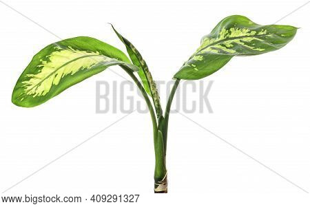 Houseplant Leaves Of Dieffenbachia (dumb Cane) Containing White Flecks And Stripes Isolated On White