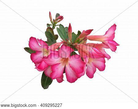 Fresh Pink Desert Rose, Mock Azalea, Pinkbignonia Or Impala Lily Flowers Isolated On White Backgroun