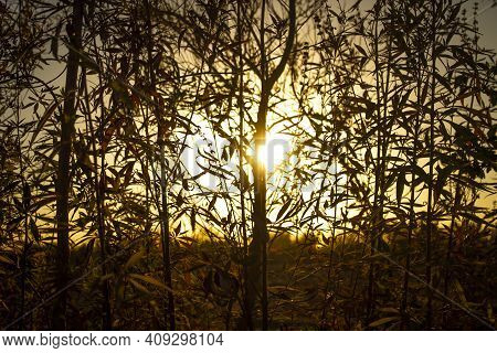 Sunset.sunset In The Forest.forest And Sunset.plants And Trees With The Sunset.image Was Taken Durin