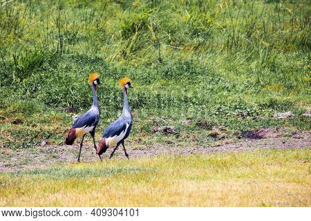 Trip to the Horn of Africa, Kenya. Beautiful couple of crowned crane seeks food in the savannah bushes. Southeast Kenya, the unique Amboseli park. Exotic trip to Africa