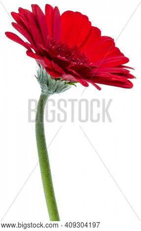 Vertical red gerbera flower with long stem isolated over white background