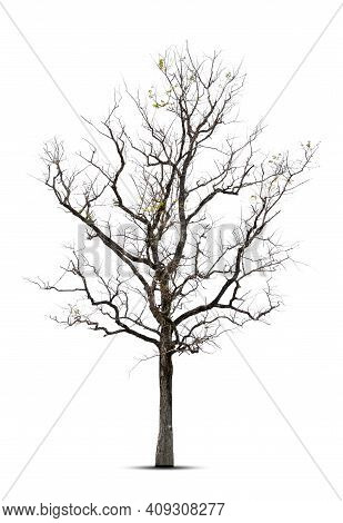 Tree In Winter,  Tree Without Leaves,  Isolated On White Background.