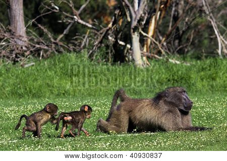Male Baboon And His Baby Offsprig