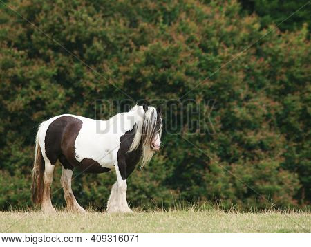A Pretty Black And White Cob Pony Stands Alone In A Paddock.