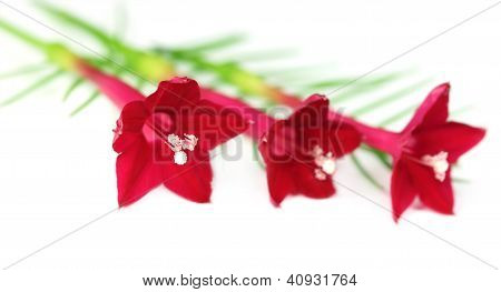 Tarulata flower over white background