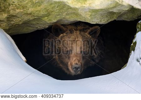 Brown Bear Looks Out Of Its Den In The Woods Under A Large Rock In Winter