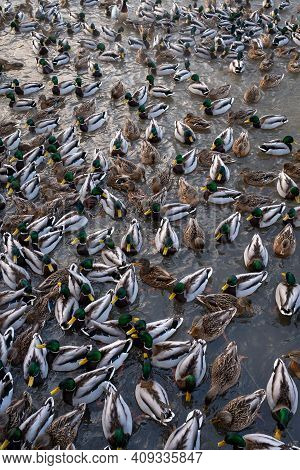 Duck Flock. Many Ducks Swim In The Lake. Ducks In Winter. Ducks Swim Among The Ice Floes. A Flock Of