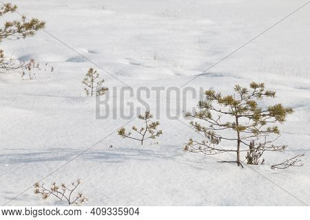 Small Pines In Winter Under The Snow