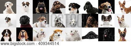 Best Friends. Young Dogs, Pets Collage. Cute Doggies Or Pets Are Looking Happy Isolated On Multicolo