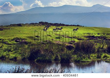 Zebras on green grassy hill. Ngorongoro crater, Tanzania, Africa