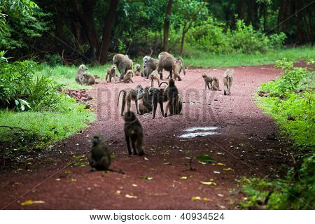 Group of Baboon monkeys in African bush. Lake Manyara National Park in Tanzania