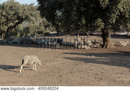 Agricultural Landscapes With Sheep In Spain