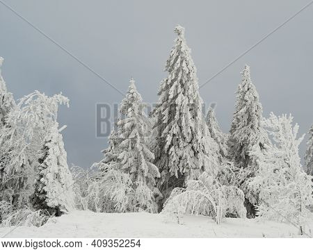 Coniferous Trees In The Swiss Jura Mountains In Deep Snow