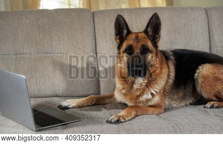 Creative Dog At Remote Work Online. German Shepherd Lies On Couch With Silver Laptop And Makes Smart