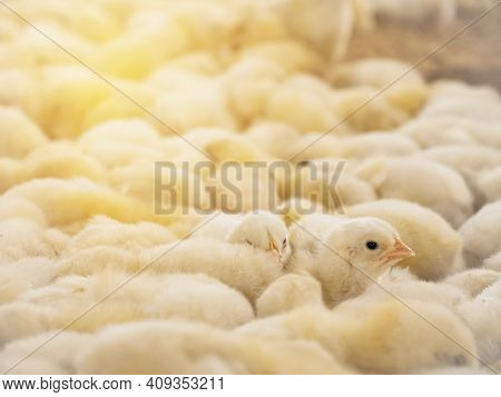 Yellow Baby Chickens Were Grrounding In The Farm To Started Feeding In The Chicken Farm Business Pic